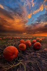 In Search Of The Great Pumpkin (Phil~Koch) Tags: summer clouds travel journey life mood emotions country outdoors colors living heaven weather horizons sunrise lines landscape sun light field art meadow sky twilight horizon beam ray sunset wisconsin scenic vertical photography blue yellow office portrait serene morning dawn nature natural earth environment inspired inspirational season beautiful peace hope love joy dramatic unity trending popular canon camera rural fineart arts fall autumn pumpkin orange