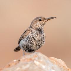 IMG_7210 (ben.roberts999) Tags: bird juvenile nv reno rockwren usa wildlife