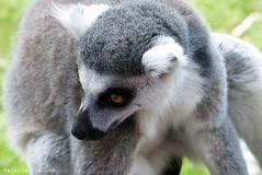 P1060246 (LaBonVampire) Tags: lemur animals nature leica leicalenses lumix