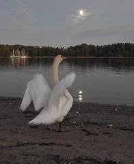 A swan song #151 (KaarinaT) Tags: swan sea herttoniemi finland helsinki spreadwings bird moon serene evening goodlight moonbridge kuunsilta feathers