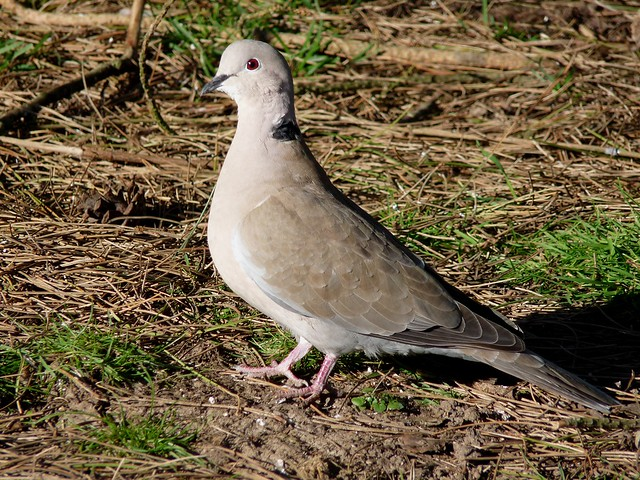 24023 - Collared Dove, WWT Llanelli