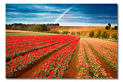Table Cape, Wynyard, Tasmania, Australia (Matthew Stewart | Photographer) Tags: flowers red sky orange lighthouse storm cold green wet rain yellow table rainbow tulips australia dirt tulip bloom tasmania fields cape bulbs 2010 wynyard online99