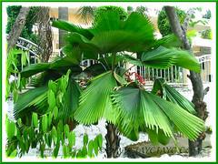 Licuala grandis (Vanuatu Fan Palm)