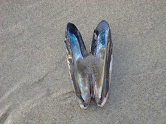 Bivalve (MSSQUID) Tags: ocean beach oregon coast sand pacific shell clam shore pacificnorthwest mussel bivalve