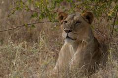 20110107-_MG_6401 (Ken Zaremba) Tags: africa felidae geography kenya lion merunationalpark pantheraleo animal bigcats carnivores lioness mammals