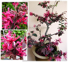Loropetalum chinense var. rubrum 'Burgundy' or 'Sizzling Pink' looking gorgeous after a trim