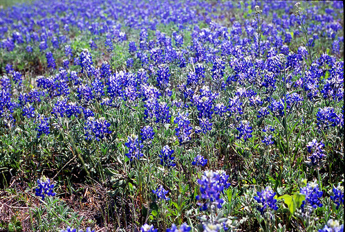 Bluebonnets 35mm