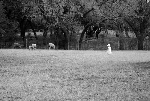 Beatrix herding sheep.