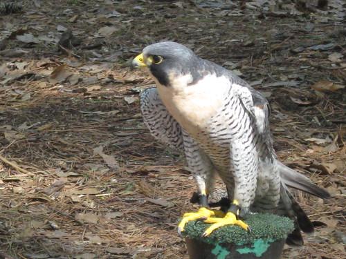 Peregrine Falcon * Falco Peregrinus