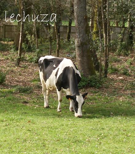 Queixeria-vaca