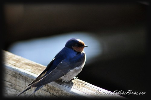 Swallow enjoying the morning sun