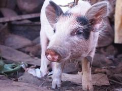 pig pet lhasa apsos lhasa apso dogs