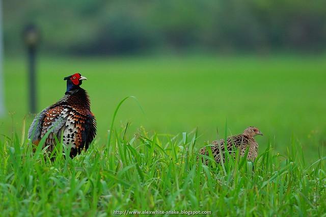 環頸雉 夫婦 2