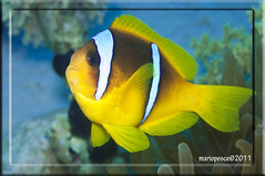 c pesci040411_47 (Mario.Pesce www.mariopesce.com) Tags: ocean life travel blue school red sea wild vacation two orange white fish color tree eye love nature water beauty animal silhouette yellow swimming silver mouth jack outdoors photography mackerel one freedom togetherness fishing eyes marine underwater natural image background space wildlife teeth group dive deep scuba safety anchovies tropical environment leisure recreation tuna predator sardine biology copy herring active shoal fishery destinations fisheries nudibrancomacro