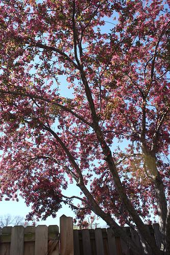 crabapple-tree