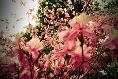 spring  azlea (k@na) Tags: pink spring explosion azalea