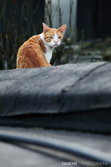 屋頂三連拍 Houtong, Taipei (yameme) Tags: 侯硐 貓 cat 5dmarkii houtong taipei taiwan canon 新北市 台灣 nature animal 生態 台北