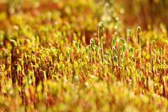 moss-shoots