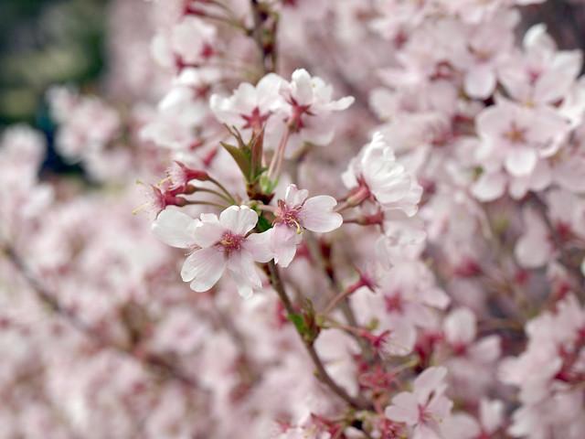 桜の花のフリー写真素材