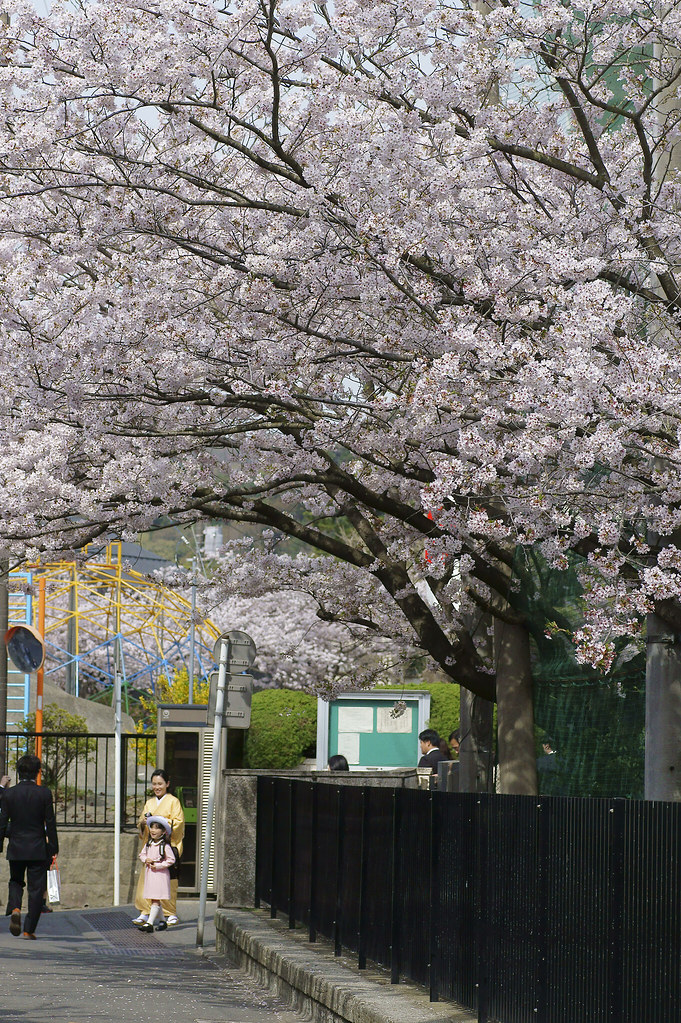Cherry Blossom 104