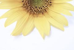 10\10 (DLo3t 2boha) Tags: yellow canon شمس ورد هي ورده هو اصفر كانون نصف دوارالشمس canong11 كانونجي11 وردهصفرا