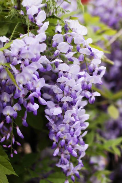 flower wisteria