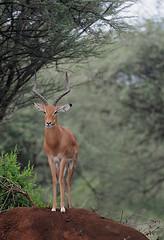 Male Impala, Lake Manyana National Park