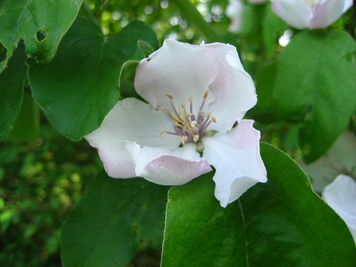 Wild quince blossom