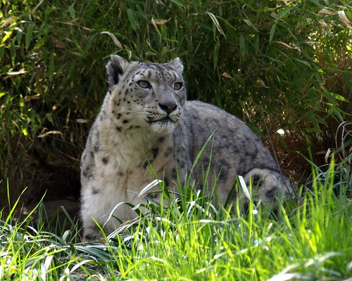 central park zoo nyc. Snow Leopard, Central Park Zoo