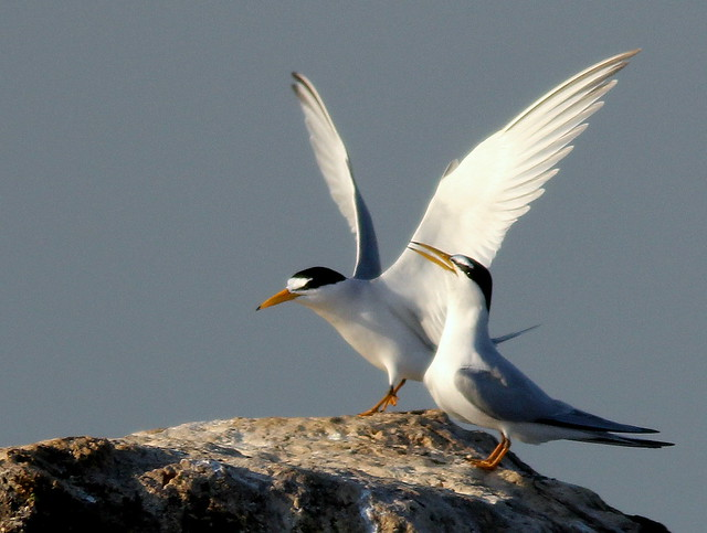 Least Terns 20110415