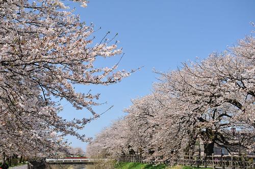 富山 布瀬公園付近の桜