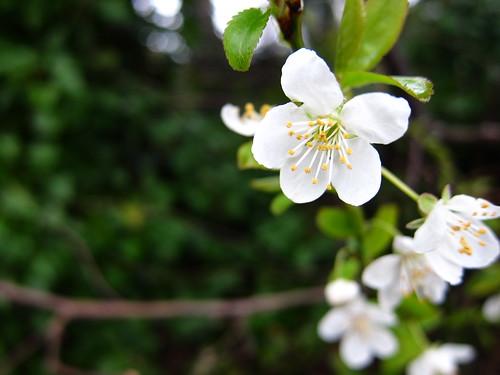 Spring Cherry Blossom by Danalynn C