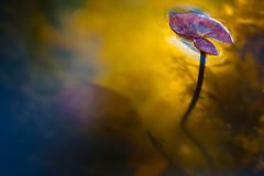 Back to life - waterlily (Massimiliano Teodori) Tags: plant macro water canon rebel pond waterlily 11 sp di af tamron 90mm piante nnuphar f28 xsi pianta seerose nenfar stagno ninfea acquatiche 450d acquatica
