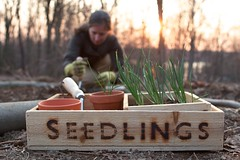 Spring (Chiot's Run) Tags: weather outside spring seasons onion seedlings planting inthegarden onionseedlings chiotsrun plantingonions chiotsruncom cultivatingthesimplelife cultivatingsimplicity seedlingsbox woodenseedlingbox plantingatsunset