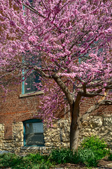 Leon Redbud (Majtek862) Tags: morning windows light urban flower color building tree brick nature glass grass rock stone wall architecture garden botanical spring alley branch landscaping earth antique sunny kansascity textures missouri bark shade bloom redbud mygearandme