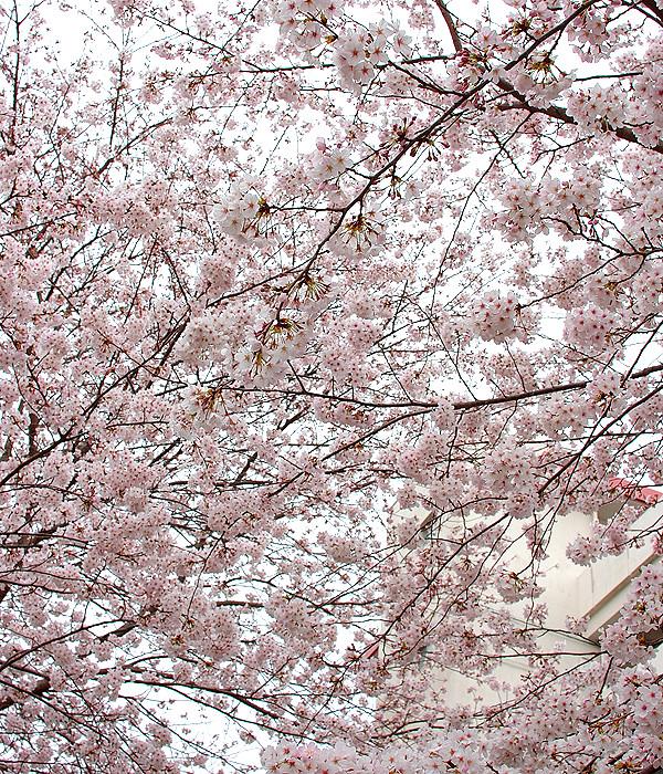 桜満開2011