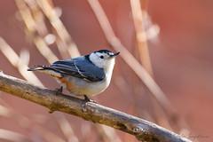 A53F9680-Edit White-breasted Nuthatch (~ Michaela Sagatova ~) Tags: bird nature fauna ave dundas whitebreastednuthatch sittacarolinensis birdphotography dvca michaelasagatova