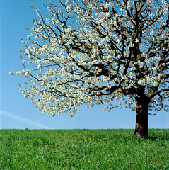 Ett körsbärsträd som får växa på gården är en fin present