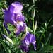 2011-04-11_iris