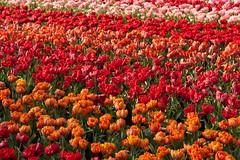 21042011-ALG_5344 (nikontino) Tags: holland 21 di april bunga indah  tulipa  keukenhof    lisse     2011   belanda    ichliebetulpen     keukenhof21april2011lissehollandtinostulennikontino