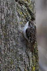 A53F0204 Brown Creeper (~ Michaela Sagatova ~) Tags: bird nature dundas browncreeper certhiaamericana birdphotography dvca michaelasagatova