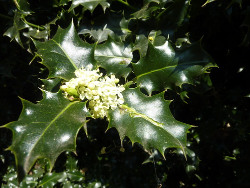 Holly flowers 1