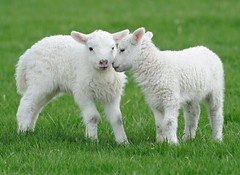 Easter Lambs (earlyalan90 away awhile) Tags: ngc mygearandme