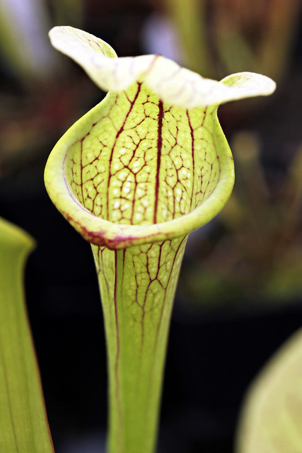 "Sarracenia flava ""widemouth"" x (leucophylla ""red"" x minor var. okeefenokeensis)"
