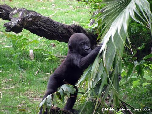 IMG_5318-WDW-DAK-baby-gorilla-victory