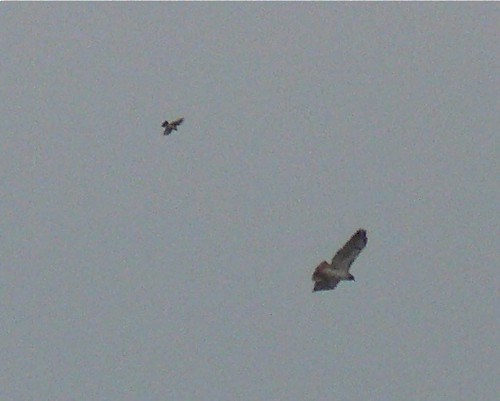 Loggerhead Shrike chasing Red-tailed Hawk