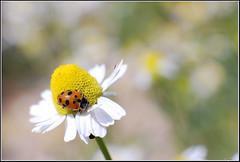 Hippodamia variegata -    (Eran Finkle) Tags: macro closeup ladybird ladybug ladybeetle asteraceae larva chamomile camomile coccinellidae matricariarecutita  hippodamiavariegata variegatedladybeetle  germanchamomile       eranfinkle        13