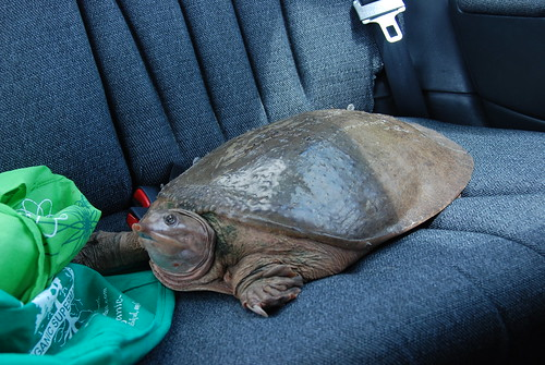 giant softie turtle in kts back seat