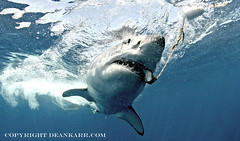 Great White Shark (sharkdefenders) Tags: mexico greatwhiteshark guadalupeisland sharkdefenders