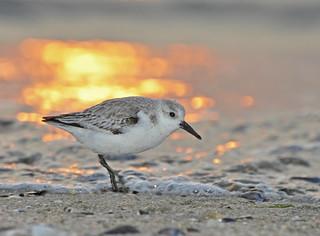 Sanderling - Sunset beach stroller -